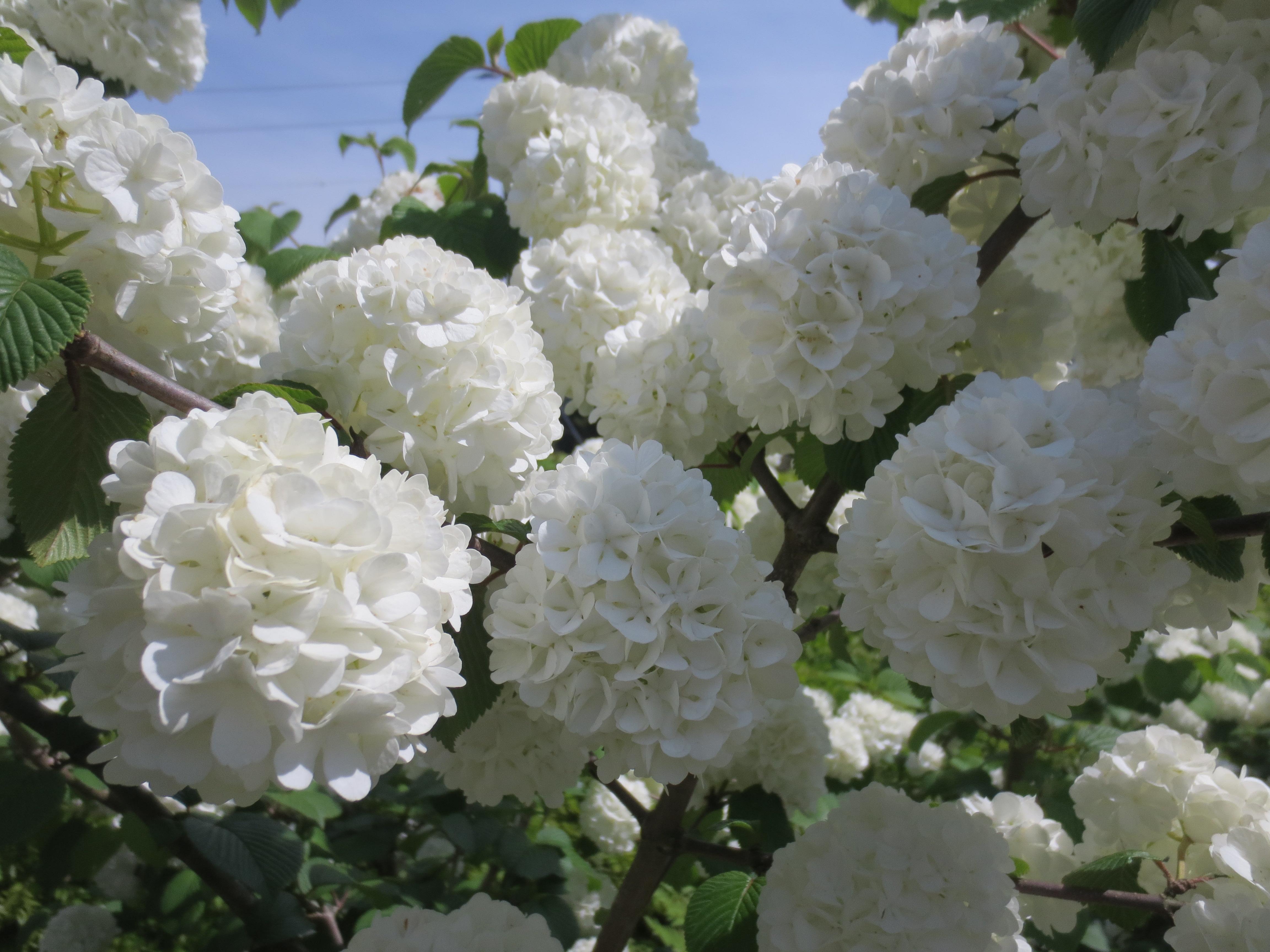 Puffball Flowers