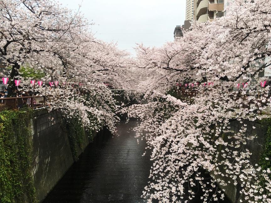 Meguro River Cherry Blossoms(Tokyo)