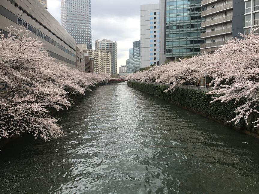 Weekday City Sakura (Meguro River,Tokyo)