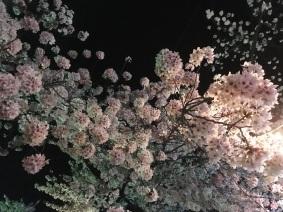 Cherry blossoms really close to Kamesei Ryokan.