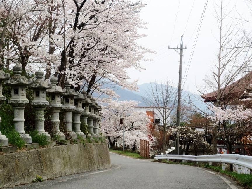 Cherry Blossoms & KameseiRyokan