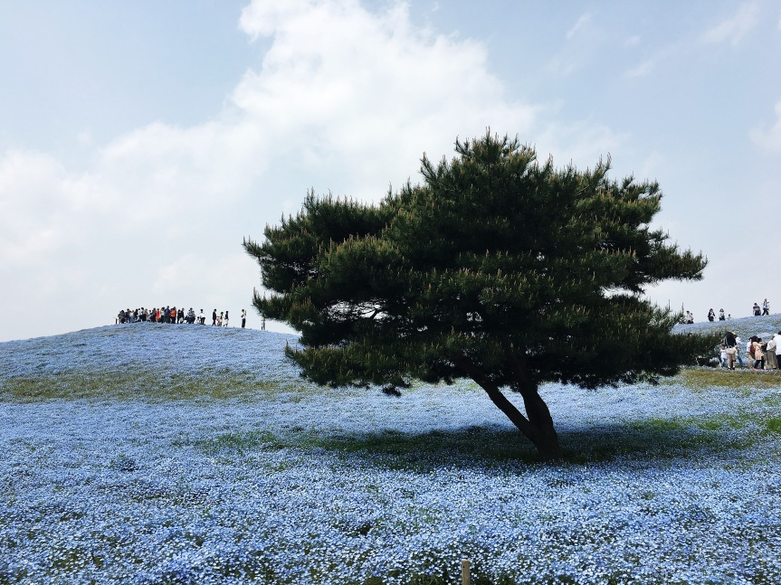 Blue Flowers & Tulips at Hitachi Seaside Park