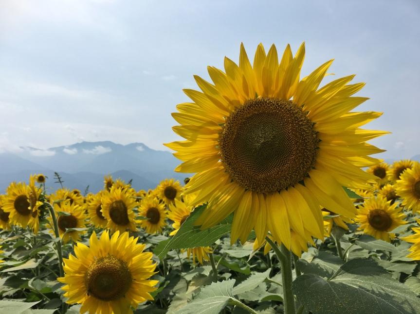 Yamanashi Sunflowers!
